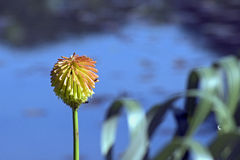 Yellow torch lily in contrast to the blue lake Royalty Free Stock Photos