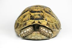 Yellow Tortoise Hiding Head. In the shell Royalty Free Stock Photography