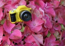 Yellow toy camera among the big pink hydrangeas Royalty Free Stock Photos