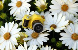 Yellow toy camera among the large daisies Stock Photography
