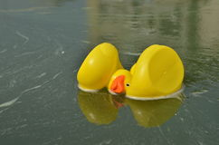 Yellow toy ducks on water Royalty Free Stock Images