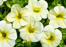 Calibrachoa Calimar Banana. Overhead view of creamy white flowers with yellow throats and veins in bloom with small green leaves in background Royalty Free Stock Photo