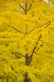 Yellow Tree Royalty Free Stock Photos