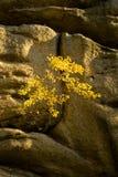 Yellow tree. Grows from rocks (Polish Stock Photography