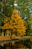 Yellow tree. Autumn yellow tree in park, october Stock Photo