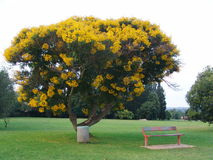 Yellow tree Royalty Free Stock Image