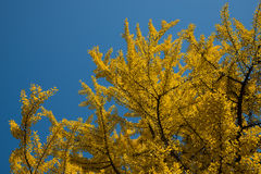 Yellow tree against blue sky background Royalty Free Stock Image