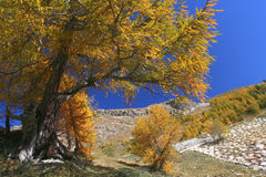 Yellow tree in Alps Stock Photography