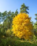 Yellow tree, autumn background Stock Photos