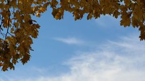 Tree in the autumn. Yellow tree in the autumn with blue sky background stock video footage
