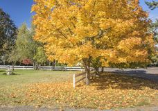 Yellow tree in Autumn colors Silverton Oregon. Royalty Free Stock Photo