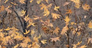 Yellow Tree In Autumn. In Rainy Day stock footage