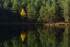 Yellow tree on the background of the forest on the lake with reflection royalty free stock photography