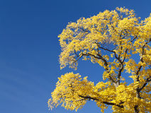 Yellow tree on blue Stock Photos