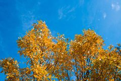 Yellow tree on blue sky background Royalty Free Stock Images