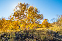 Yellow Tree in Blue Sky Royalty Free Stock Image