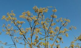 Yellow tree - blue sky. Yellow flowers on tree against bright blue sky. Fodele. Crete. Greece Royalty Free Stock Image