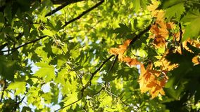 A Yellow Tree Branch Among Green. The first autumn branch of platan  among the green branches stock video