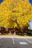 Yellow tree Royalty Free Stock Images
