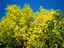 Yellow tree crowns Royalty Free Stock Image