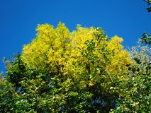 Yellow tree crowns Stock Image