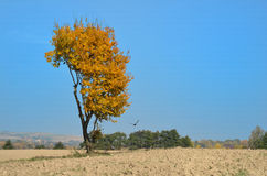 Yellow tree with crows Royalty Free Stock Photography