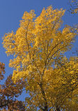 Yellow Tree in the Fall Stock Images