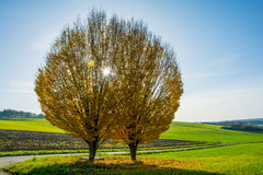 Yellow tree on a field with the sun. In the background stock photography