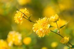 Yellow Tree Flower Blossom Royalty Free Stock Image
