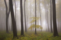 Yellow tree in a forest with fog in autumn Stock Photo