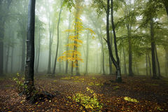 Yellow tree in the forest. Royalty Free Stock Images