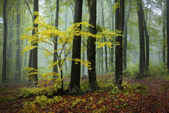 Yellow tree in the forest. Royalty Free Stock Photo