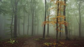 Yellow tree in the forest with nature sounds. Yellow tree in the fogy forest autumn with nature sounds stock video