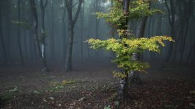 Yellow tree in the forest with nature sounds. Yellow tree in the fogy forest autumn with nature sounds stock footage