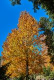 Yellow tree in a frame of pines against the blue sky royalty free stock images
