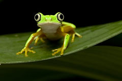 Yellow tree frog Stock Image