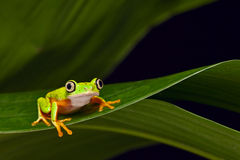 Yellow tree frog agalychnis lemur stock images