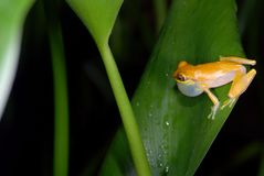 Yellow tree frog calling in Costa Rica Stock Photos