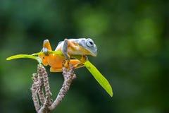 Yellow tree frog Royalty Free Stock Image