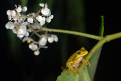 Yellow tree frog on a leaf in Costa Rica Royalty Free Stock Images