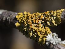 A closeup of yellow parasitic tree fungus on a tree branch royalty free stock image
