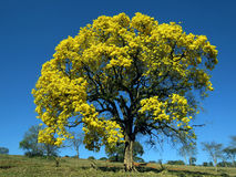 Yellow tree. Handroanthus albus. Handroanthus albus is a species of the genus Handroanthus tree. Popurlamente is called in Brazil yellow-ipe-of-saw, ipe gold Stock Image