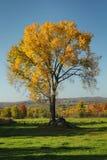 Yellow tree Royalty Free Stock Image