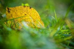 Yellow tree leaf lying in green grass close up Royalty Free Stock Photography