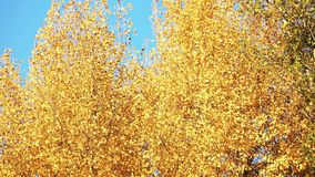 Yellow tree leaves against blue sky background. Wind blow tree motion stock video