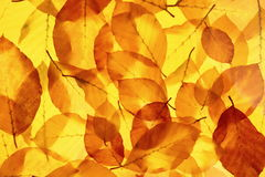 Yellow tree leaves as bright autumn background Royalty Free Stock Image