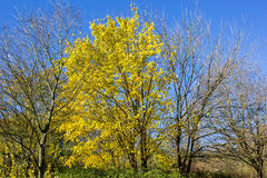 Yellow tree Stock Image