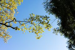 Yellow tree limp with blue sky. Low angle view Royalty Free Stock Photos