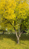 Yellow Tree Stock Photography
