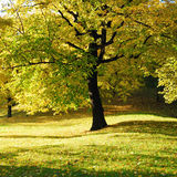 Yellow Tree in Park. Autumn Morning Light in Park with Yellow Maple Tree Royalty Free Stock Photo
